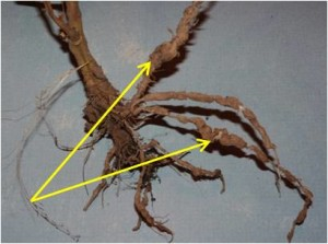 2013 - galls and knots on the tomato plant roots caused by root knot nematodes