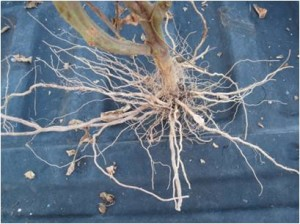 2014 - healthy roots on tomato plants grown in the same field after being treated with Actinovate