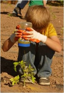 Young volunteer sprinkling corn gluten around each tomato seedling during planting