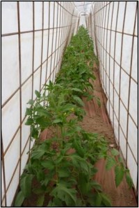 Tomato plants inside cages covered with row cover.