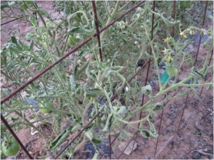 Tomato vines showing curled, fern-like leaves and spindly growth as a result of herbicide damage