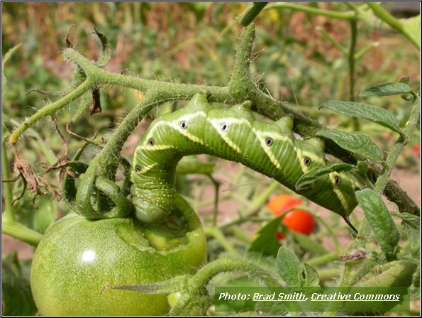 Tomato Hornworms are the Enemy