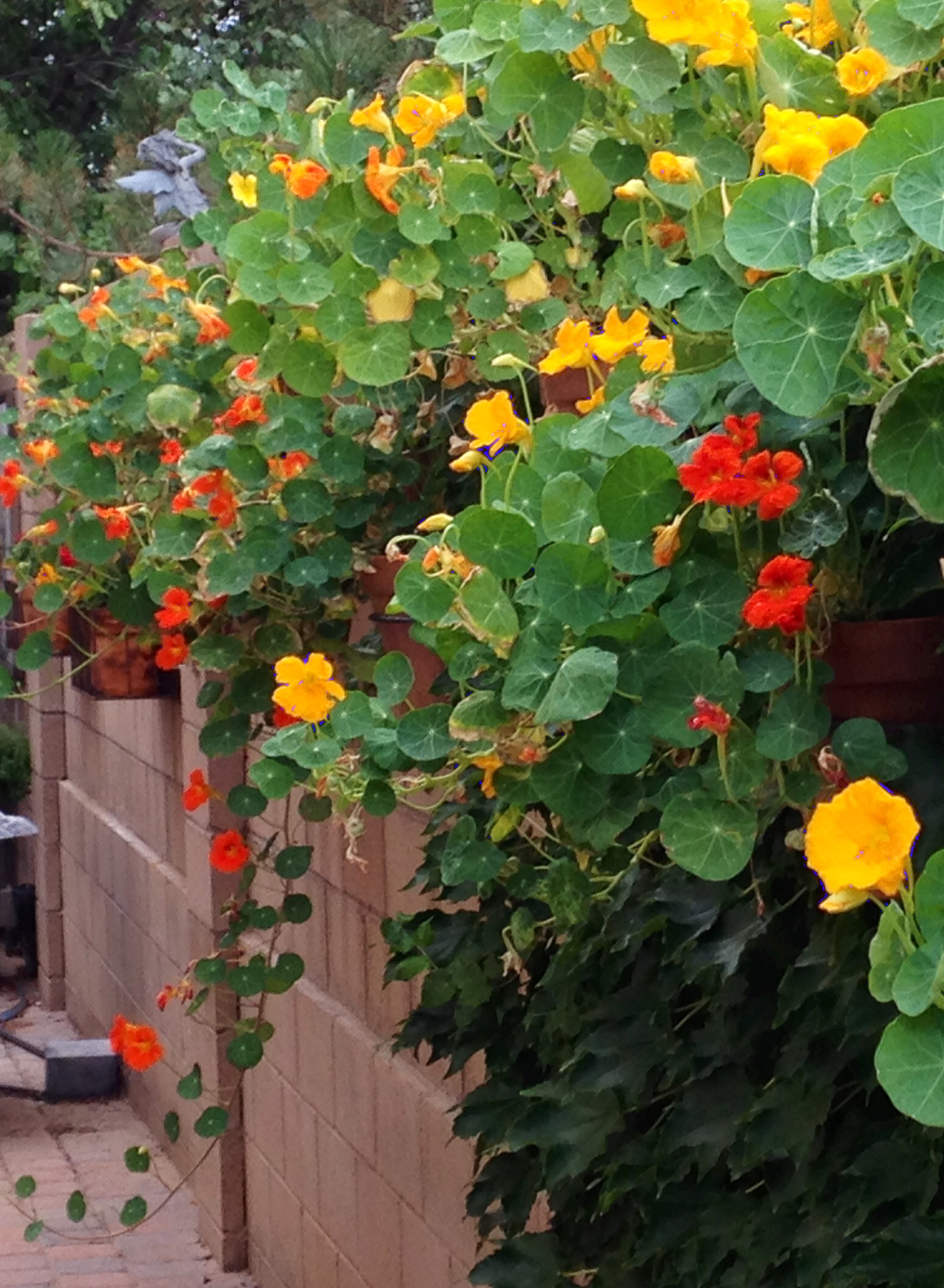 Plant of the Month – Nasturtium
