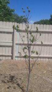 Plum tree with aphids
