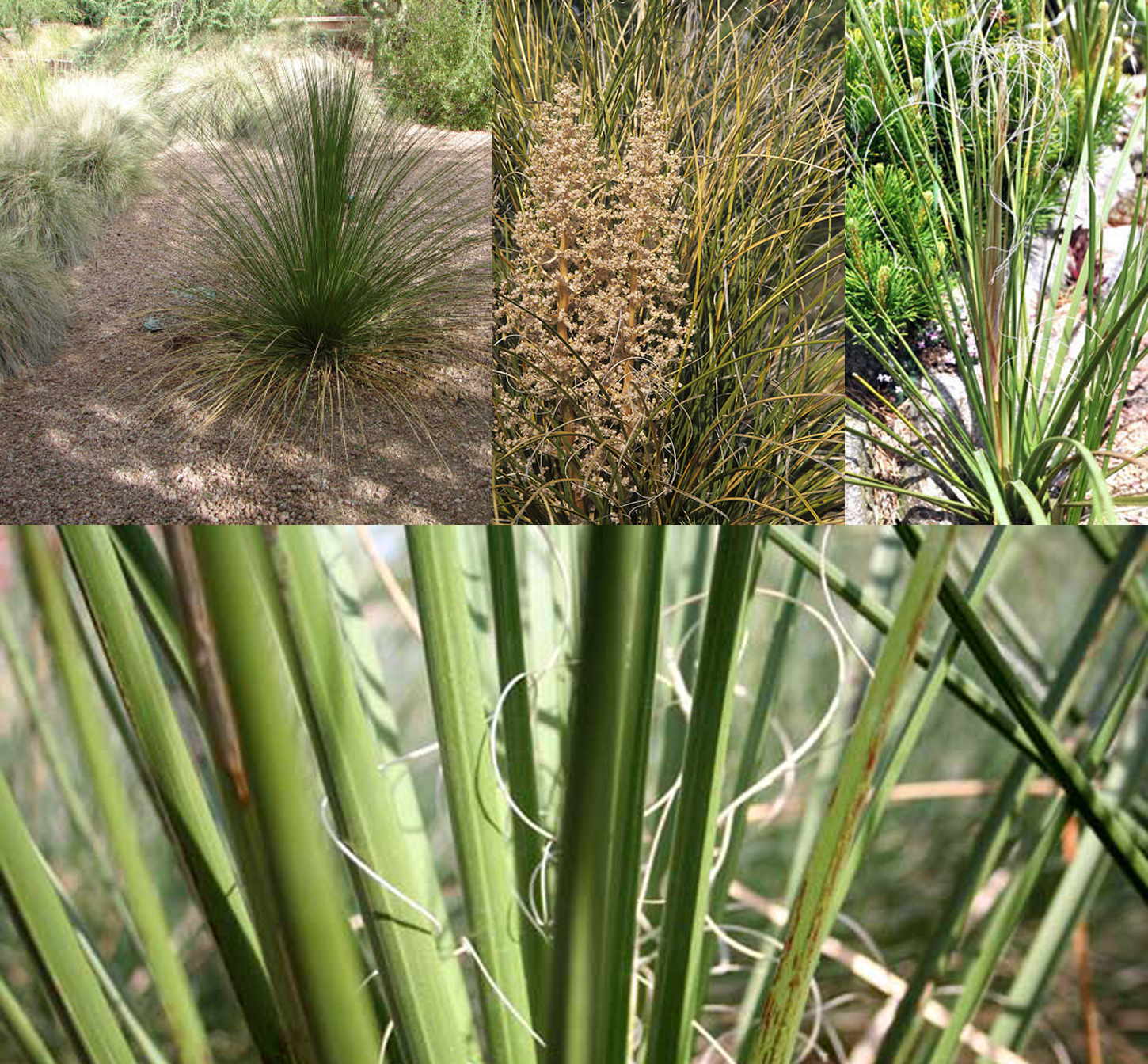 Nolina microcarpa (Big Beargrass or Sacahuista)