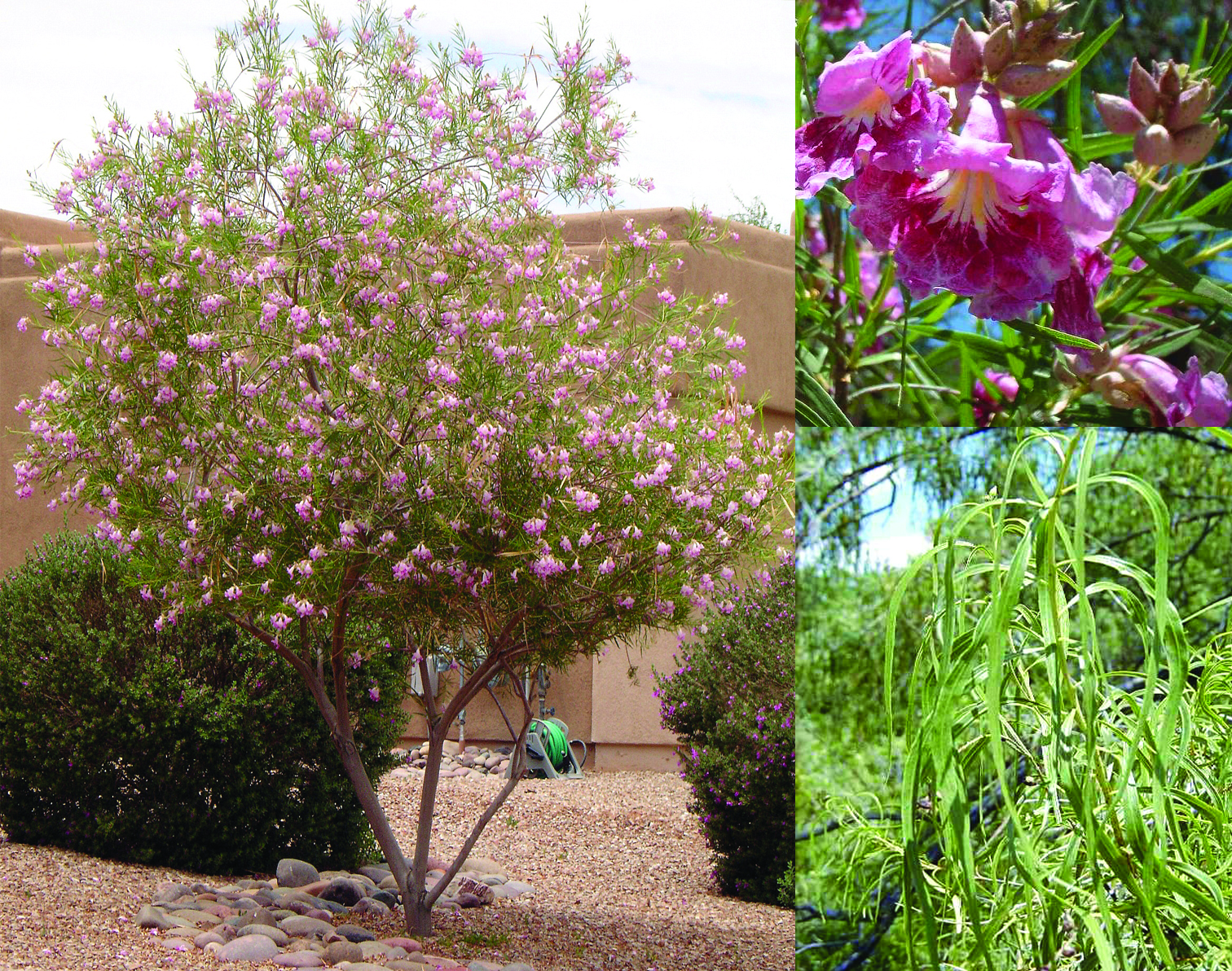 Desert Willow- Chilopsis linearis