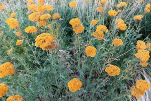 Yarrow after painting
