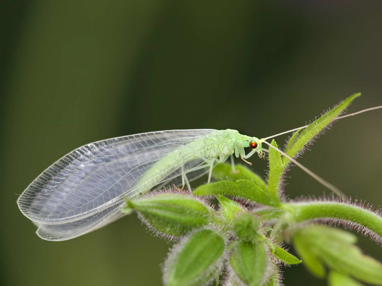 Beneficial of the Month – Lacewing Order: Neuroptera