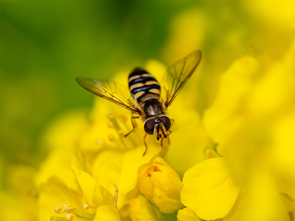 Beneficial of the Month – Beneficial Flies ( Diptera) Part I – Hoverflies (Family: Syrphidae)