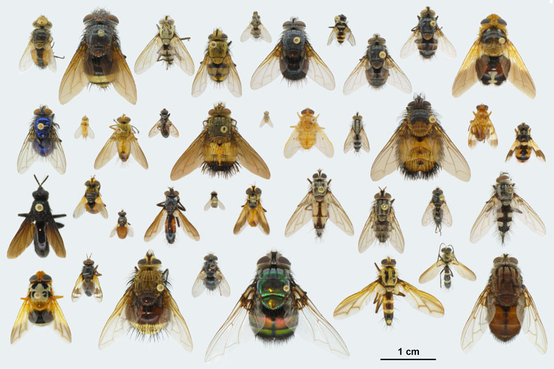 Beneficial Insect of the Month – Beneficial flies (Order: Diptera) Part II – Tachinid Flies (Family: Tachinidae)