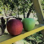 Winesap' and 'Granny Smith' side by side. Photo credit M. Thompson