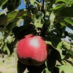 'Winesap' apple in Portal Arizona. Photo credit M. Thompson
