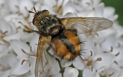 Beneficial of the Month – Beneficial Flies (Order: Diptera) – Tachinid Flies (Family: Tachinidae)