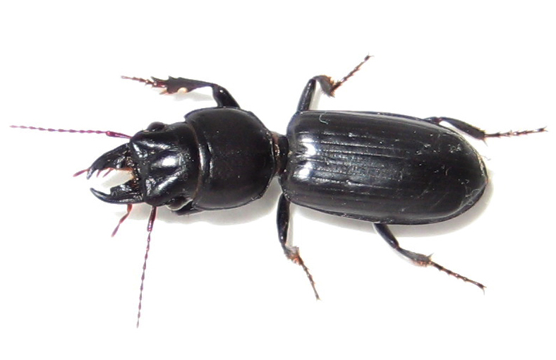 Beneficial of the Month – Beetles (Order: Coleoptera) – Ground beetles – (Family: Carabidae)