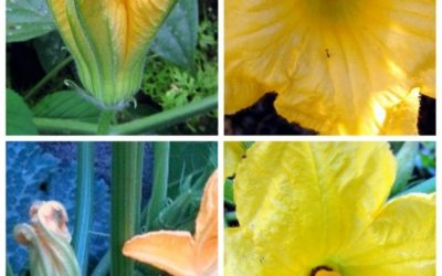 Pollination of Plants in the Gourd Family (Cucumbers, Squashes, Melons, and MORE!)