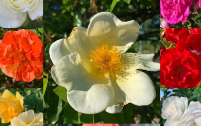 Now That the Roses Have Finished Blooming