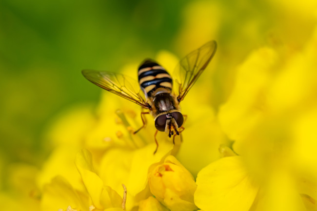 Beneficial of the Month – Beneficial Flies (Order: Diptera) – Hoverflies (Family: Syrphidae)