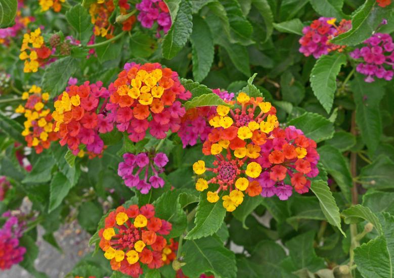 Southwest Plant of the Month – Bush lantana – Lantana camara