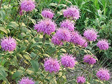 Southwest Plant of the Month – Beebalm or Bergamot – Monarda fistulosa var. menthifolia