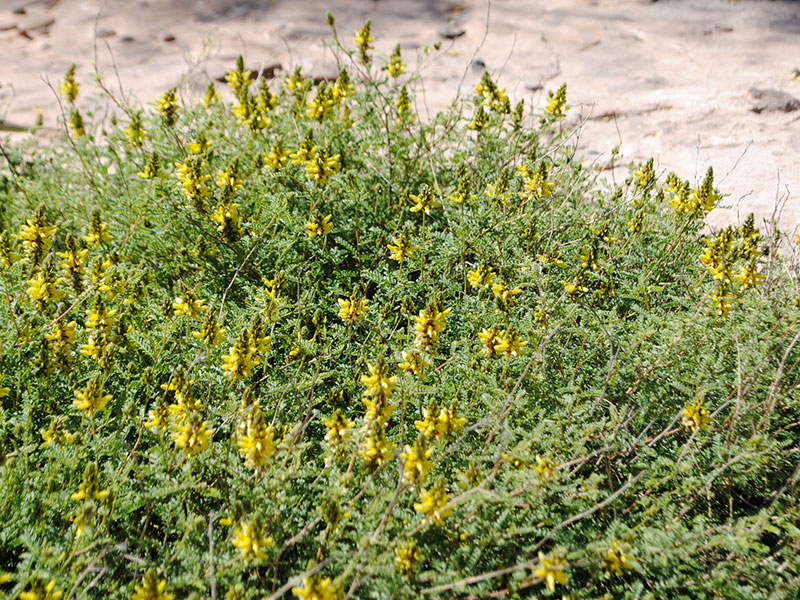 Southwest Plant of the Month – Trailing yellow dalea – Dalea capitata
