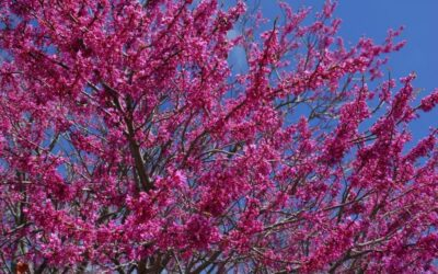 Southwest Plant of the Month – Mexican redbud – Cercis canadensis var. Mexicana