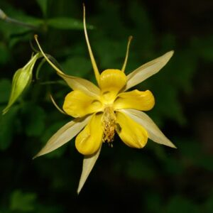 Southwest Plant of the Month – Golden columbine – Aquilegia chrysantha