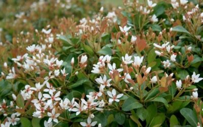 Southwest Plant of the Month – Indian Hawthorn – Raphiolepis indica