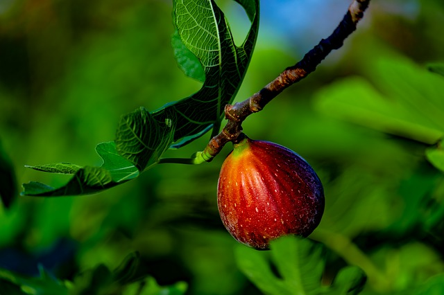 Southwest Plant of the Month – Edible Fig – Ficus carica