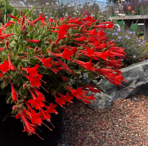 Southwest Plant of the Month -Hummingbird trumpet – Zauschneria californica var. latifolia
