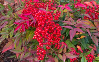 Southwest Plant of the Month – Heavenly bamboo – Nandina domestica