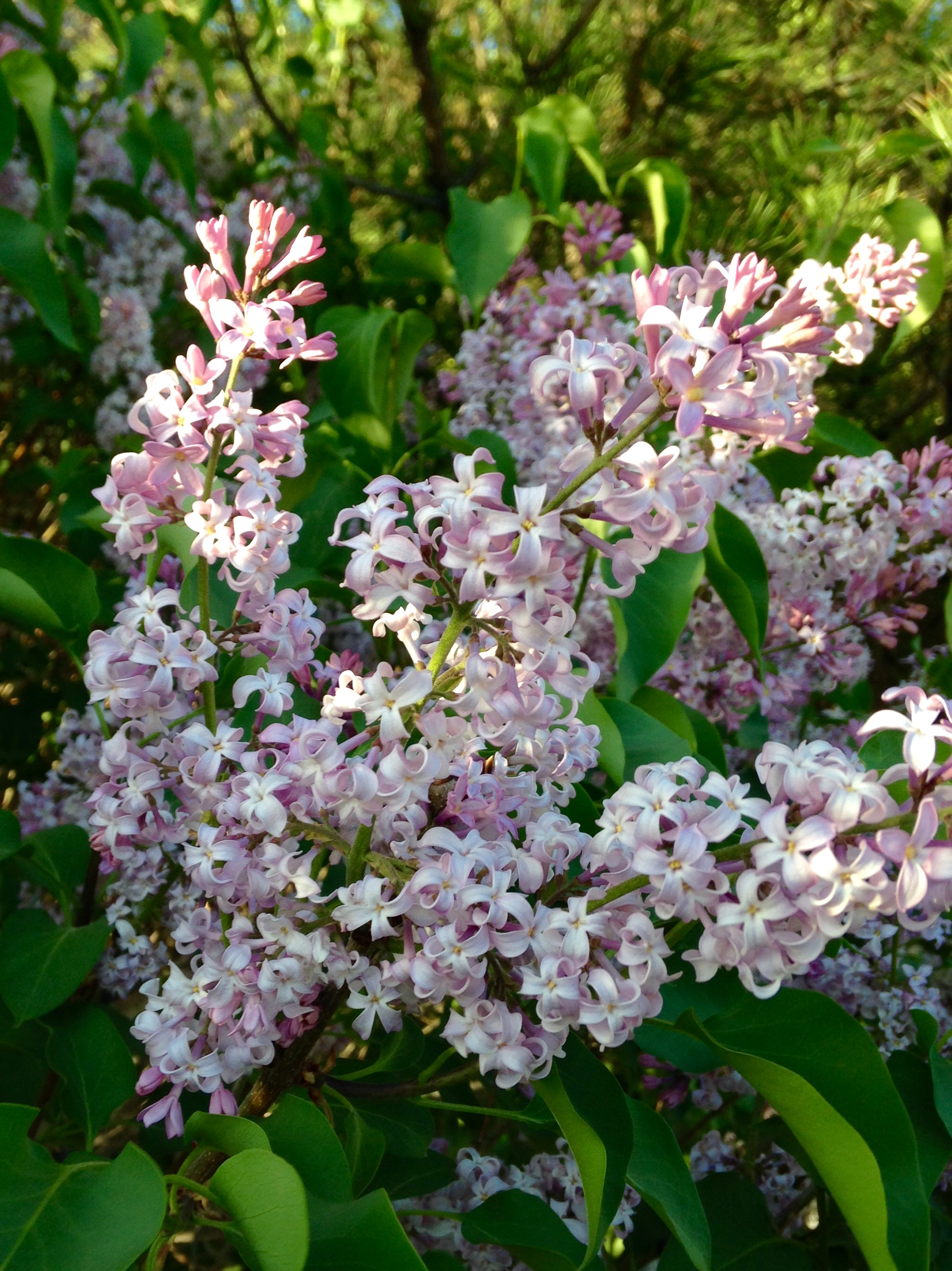 Plant of the Month: Common Lilac