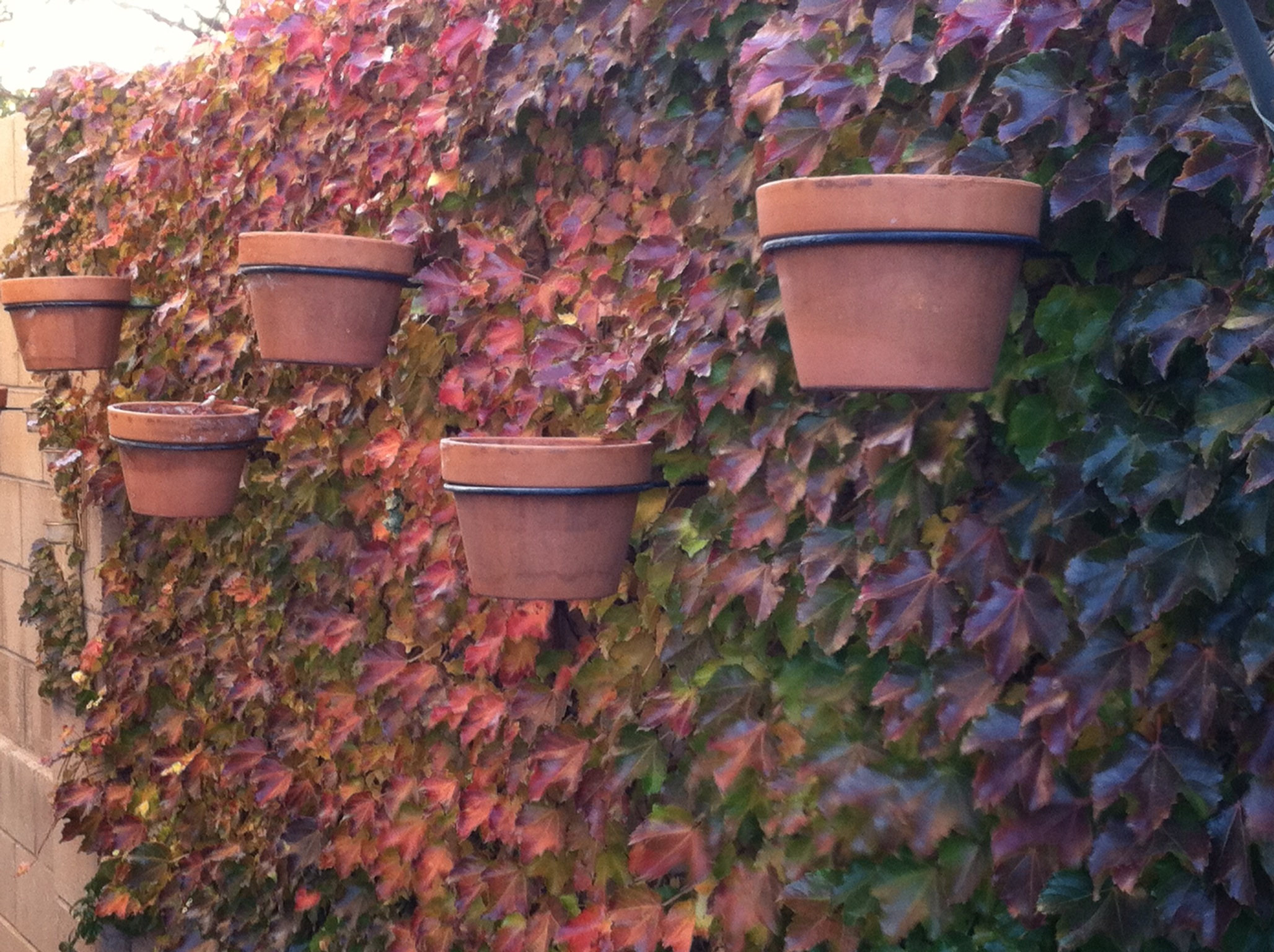 Plant of the Month: Boston Ivy