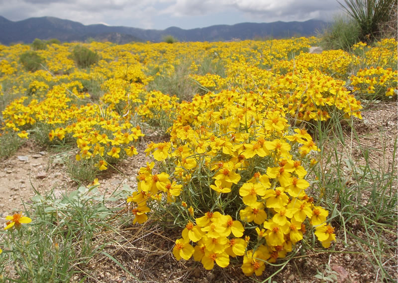 Southwest Plant of the Month-Wild Zinnia