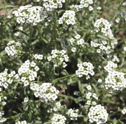 Alyssum (Lobularia maritima)