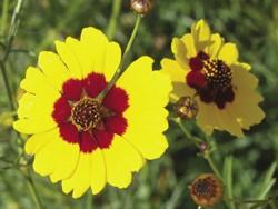 Plains coreposis (Coreopsis tinctoria)