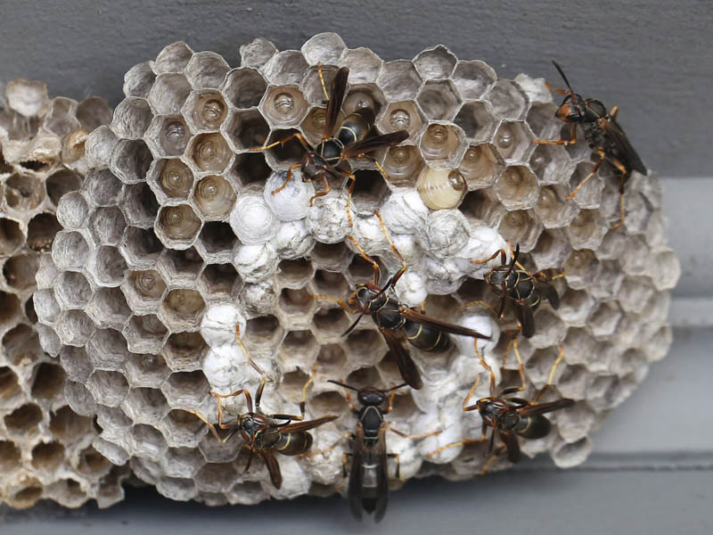 Beneficial of the Month – Wasps ( Hymenoptera) Part II – Parasitic Wasps (Various Families)