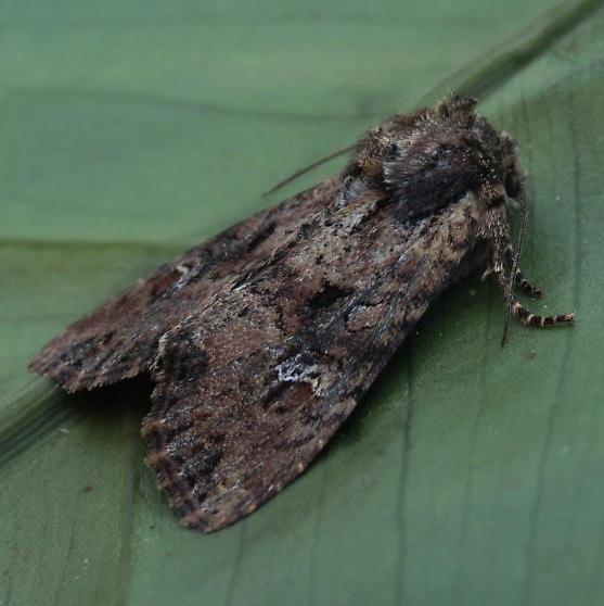 Moth Invasion May 2020