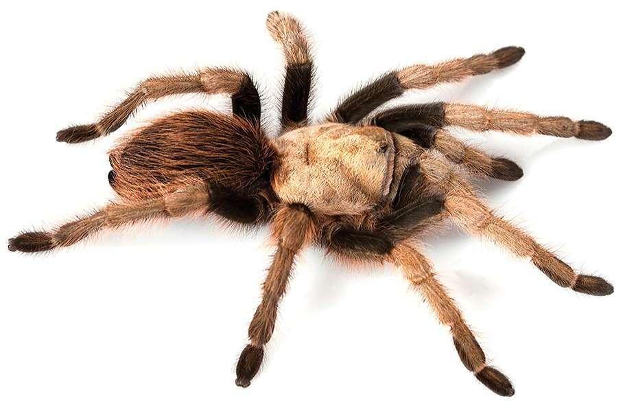 Tarantula – (Family:  Theraphosidae; Genus: Aphonopelma; Species:  chalcodes)