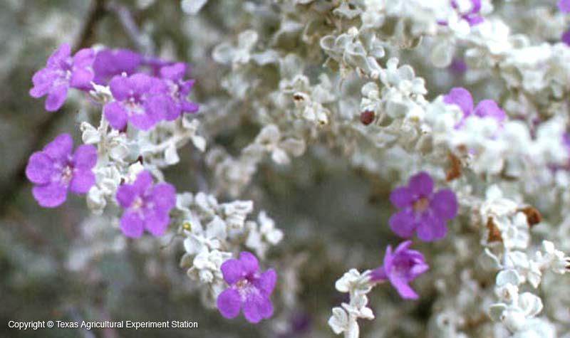 Southwest Plant of the Month – Big Bend silverleaf – Leucophyllum candidum