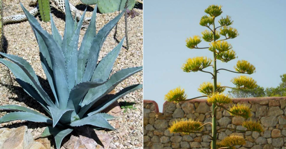 Southwest Plant of the Month – Century plant – Agave spp