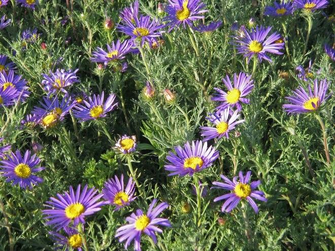 Southwest Plant of the Month – Tansy aster or Tahoka daisy – Machaeranthera tanacetifolia